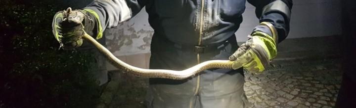Schlangenrettung in einem Wohnhaus